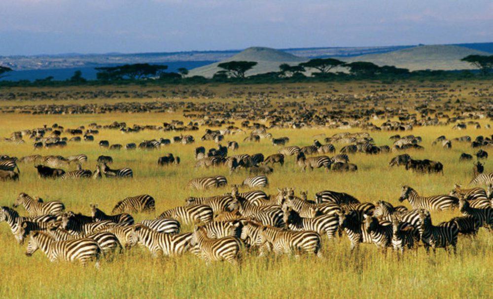 Tanzania great migration zebras and gazelles