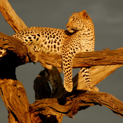 Leapard on a tree in Tanzania