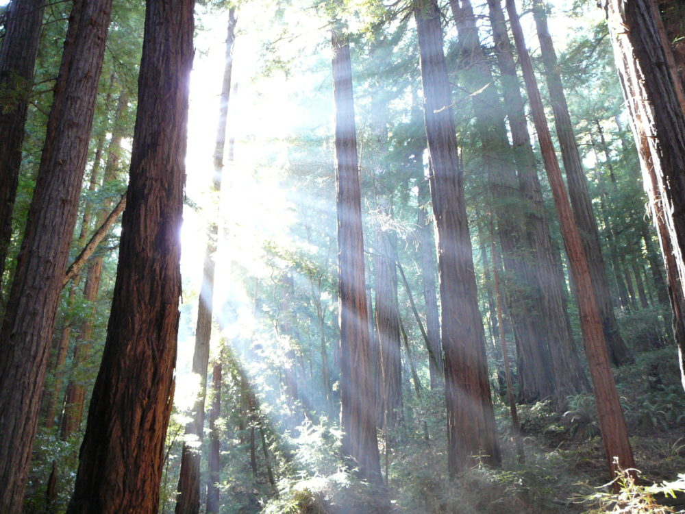 Trees and sunshine at Muir Woods California
