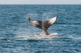 whale watching california