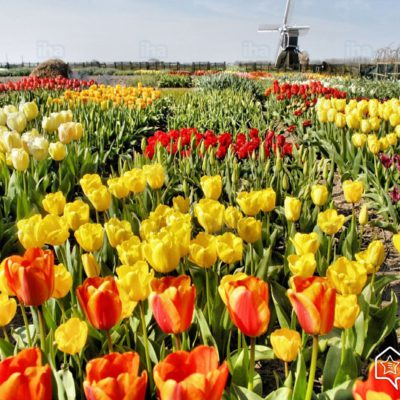 FIeld of tulips in holland and windmill in background tulip season