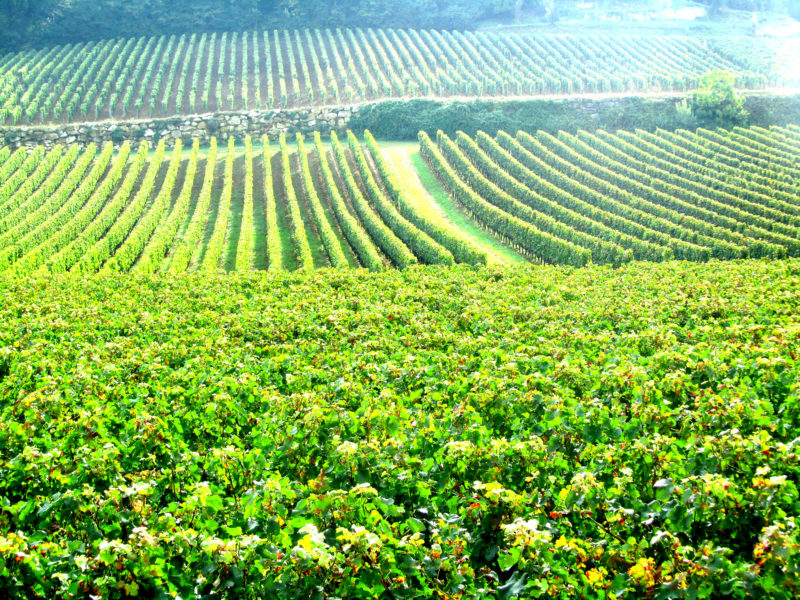 Vineyards in the Bordeaux region of France